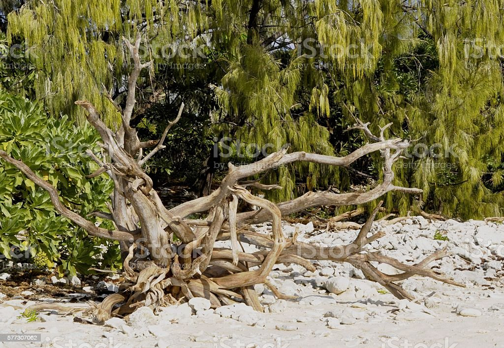 Lady Elliot Island driftwood stock photo