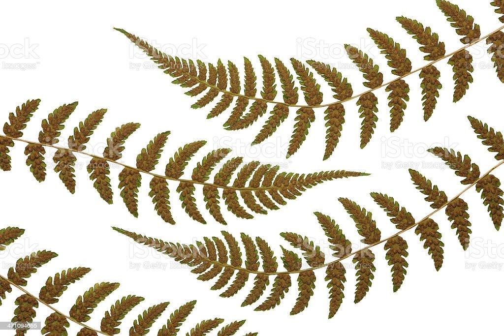 Lady fern frond patterns stock photo