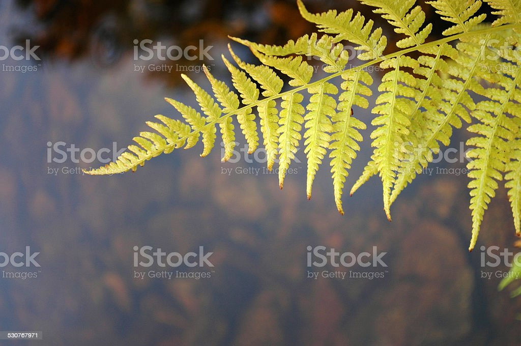 Lady fern in autumn stock photo