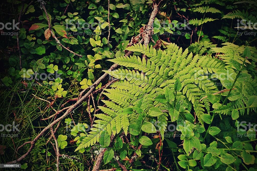 Lady Fern in nature background stock photo