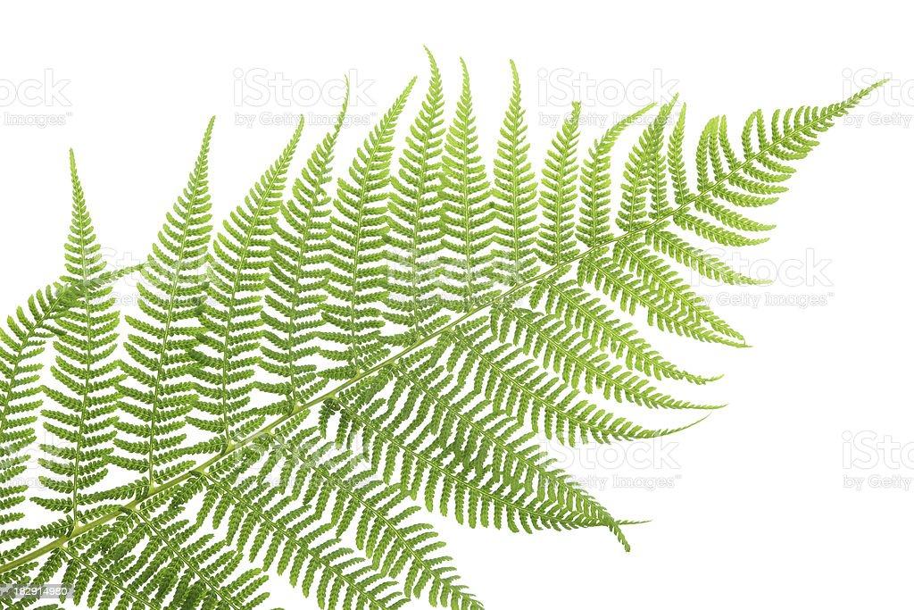 lady fern (athyrium filix-femina) isolated on white stock photo