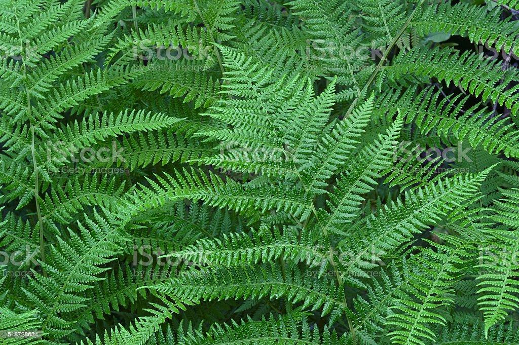 Lady fern (Athyrium brevifrons) stock photo