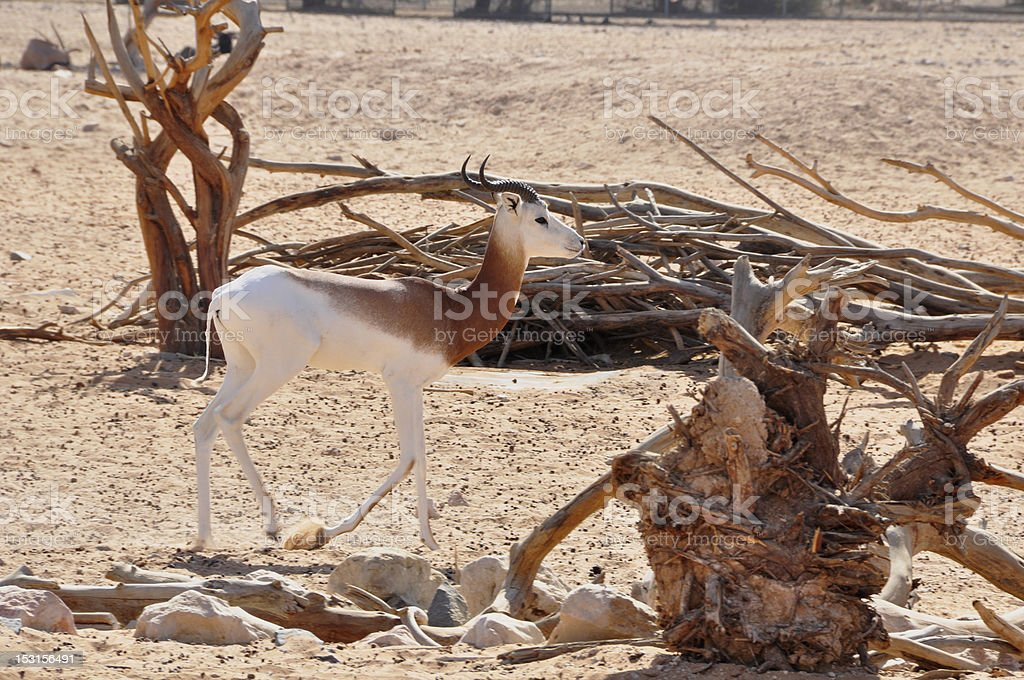 Dama Gazelle, (Gazella d.) stock photo