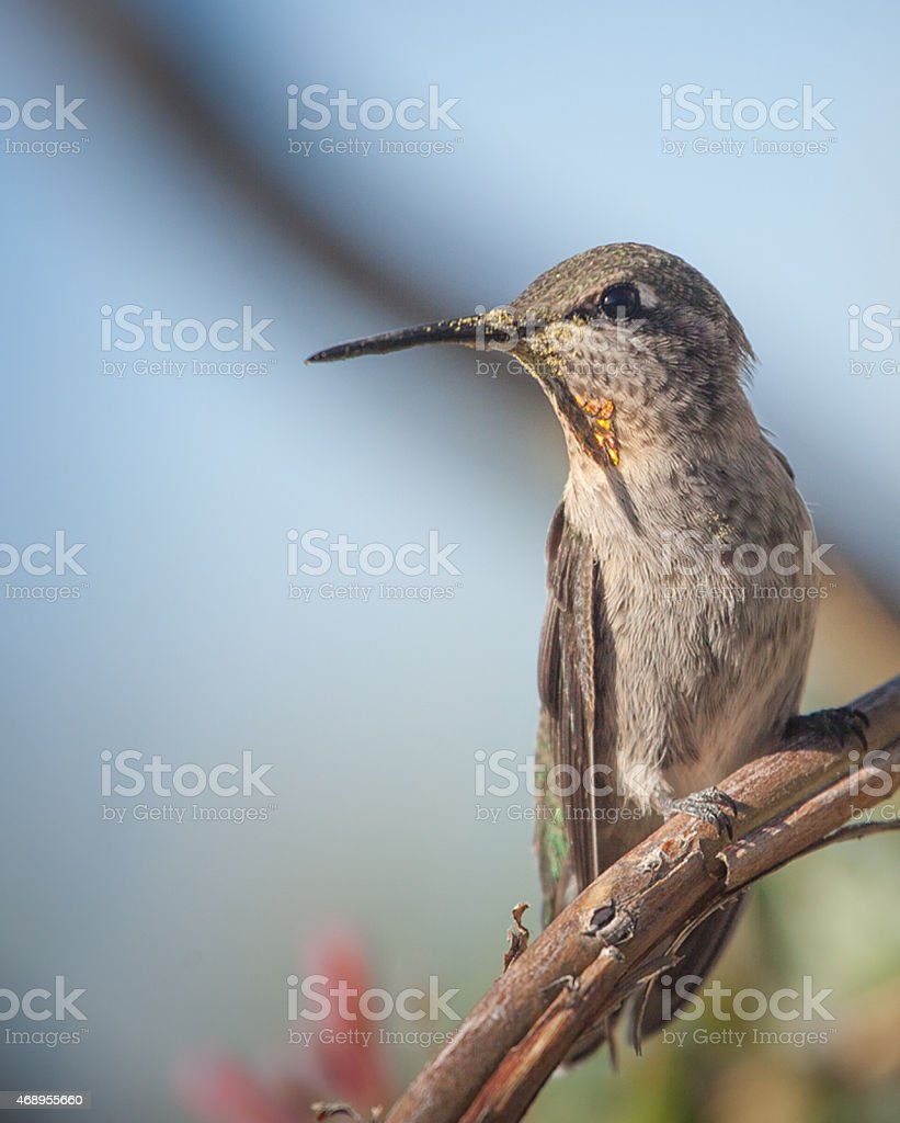 Lady Hummingbird stock photo