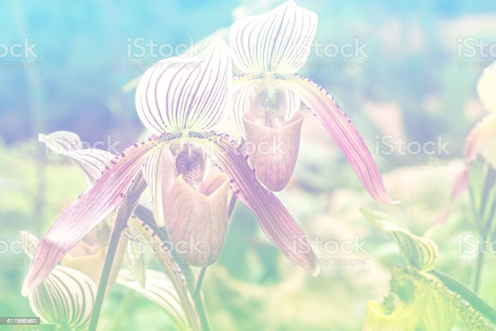 Lady slipper orchid in color filter stock photo