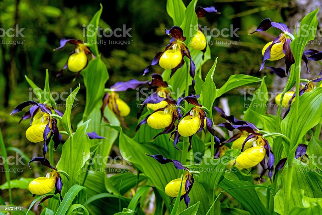 lady slipper orchid, wildflower in Germany stock photo