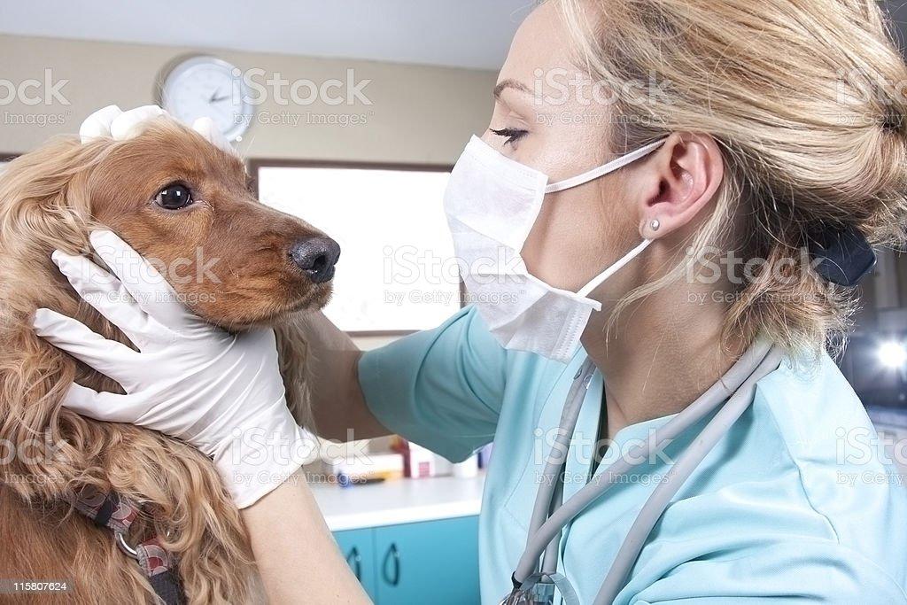 Lady veterinary royalty-free stock photo