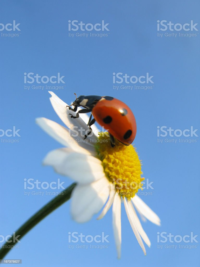 Ladybird and daisy. royalty-free stock photo