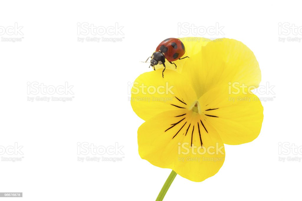 Ladybird and pansy royalty-free stock photo