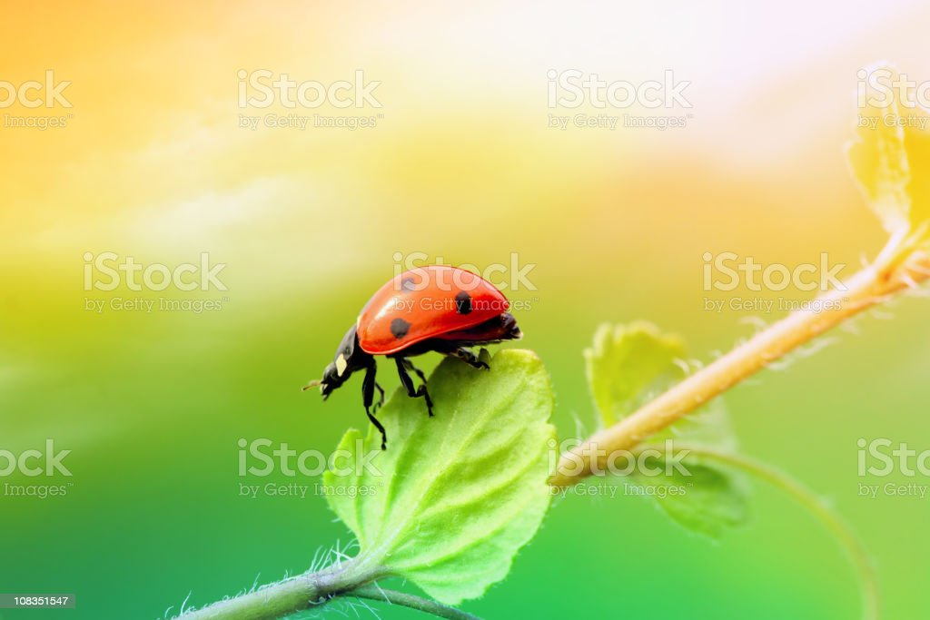 Ladybird and plant royalty-free stock photo