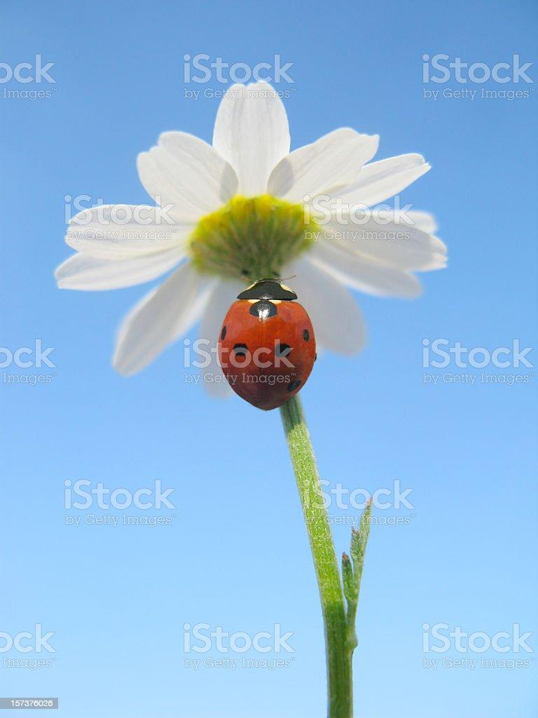 Ladybird at rest on a Daisy. stock photo