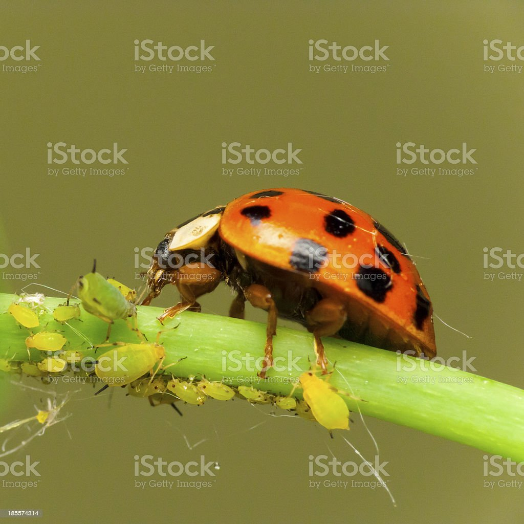 Ladybird attack aphids stock photo