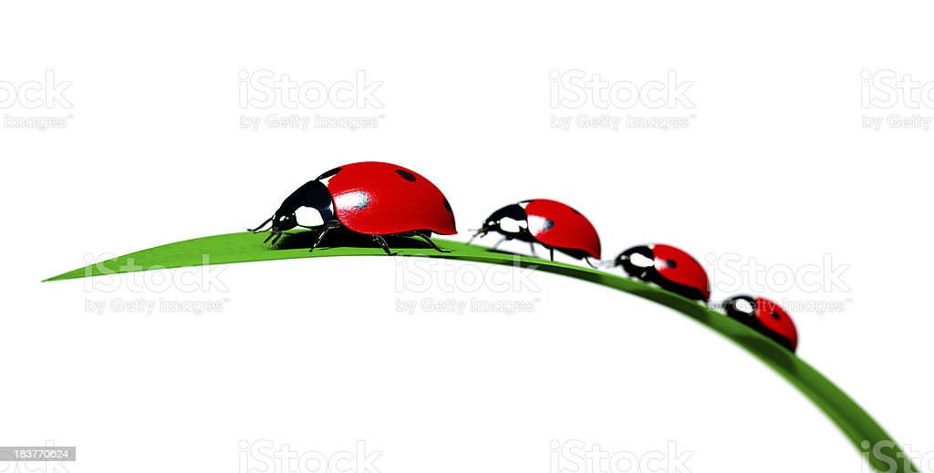 Ladybird beetle family on a blade of grass royalty-free stock photo