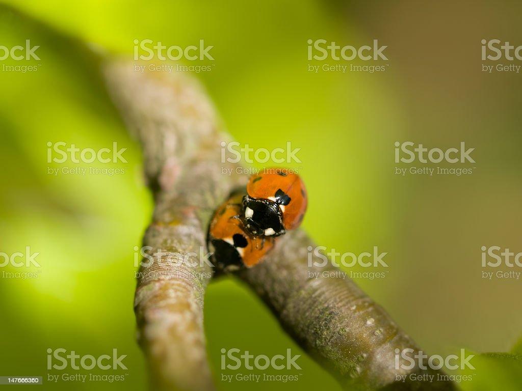 Ladybird couple royalty-free stock photo