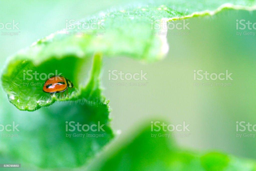 Ladybird hidding in curl leaf stock photo