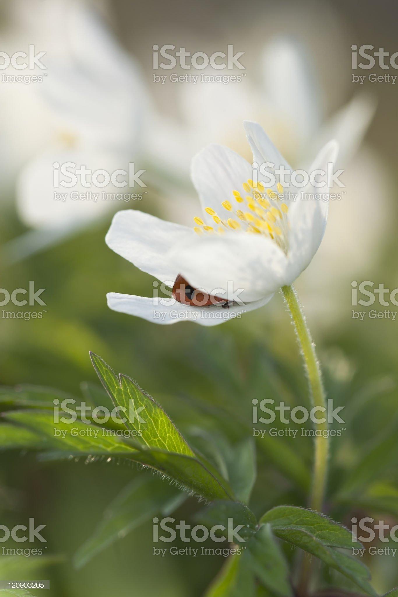 Ladybird hiding in Wood anemone royalty-free stock photo