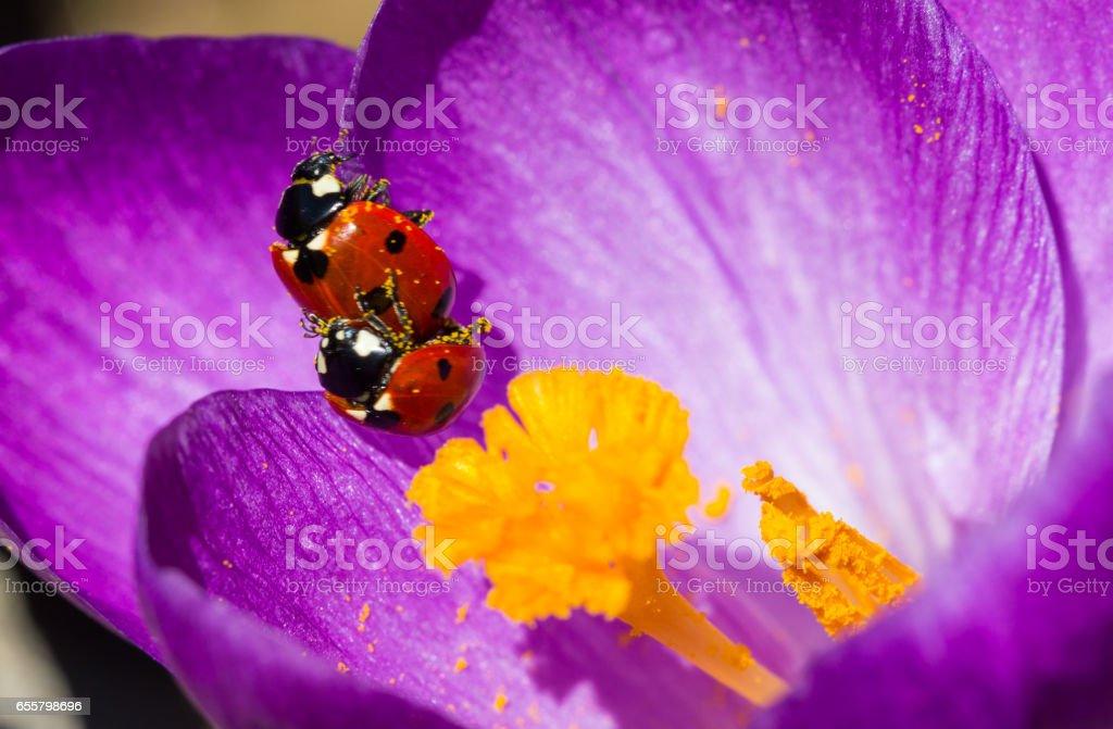 Ladybird Love stock photo