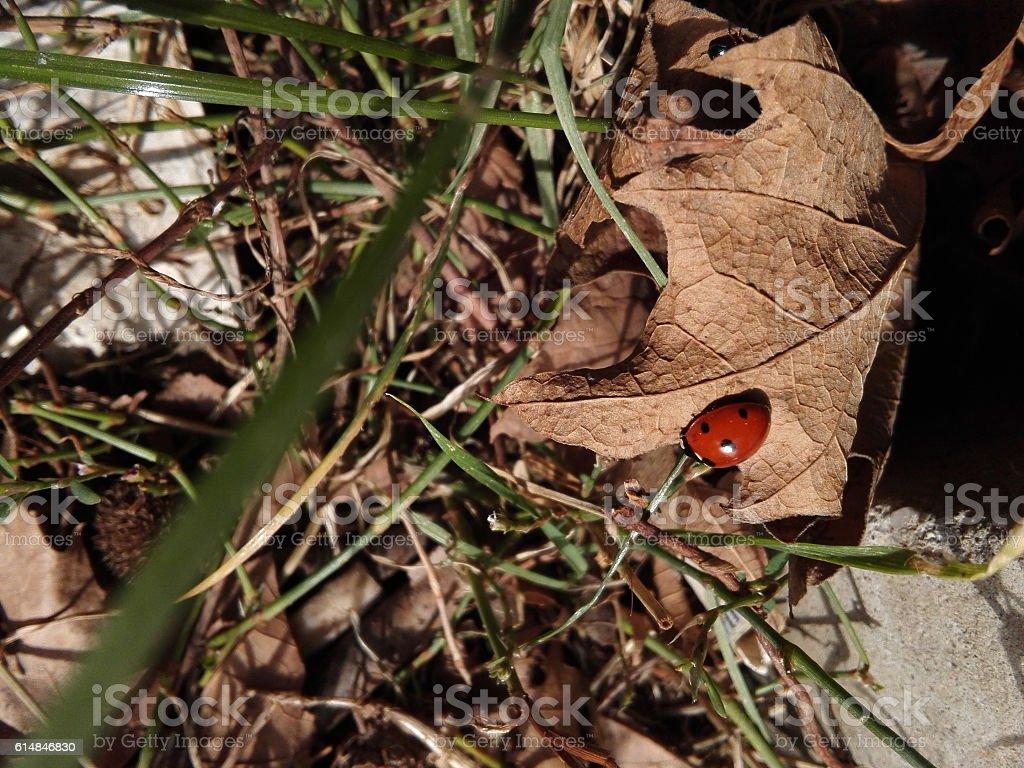 Ladybird moving down stock photo