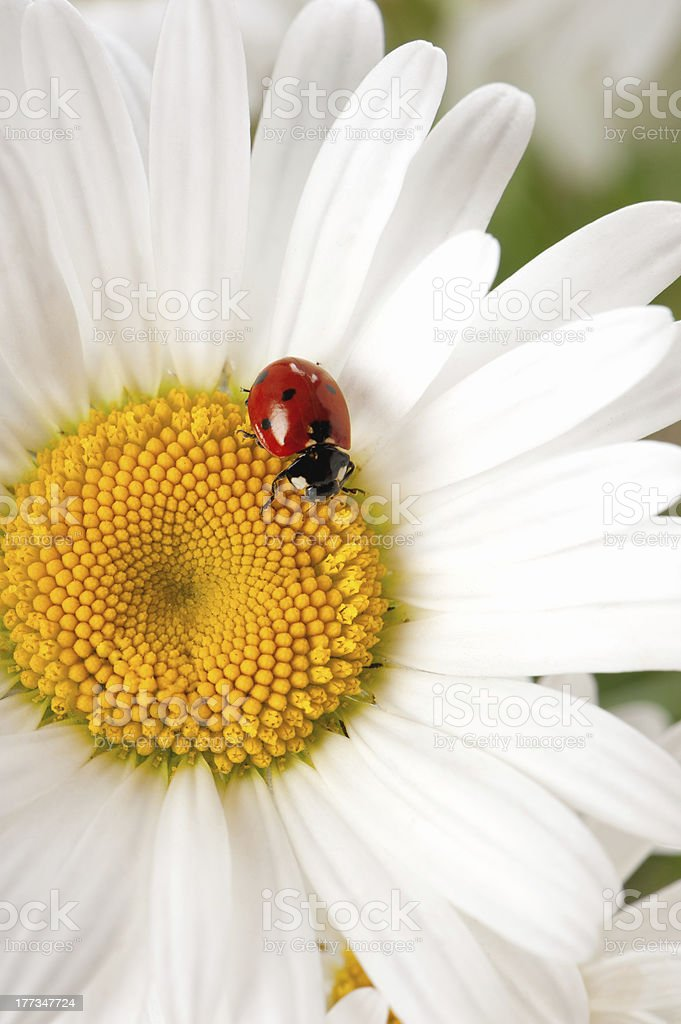Ladybird on a camomile royalty-free stock photo