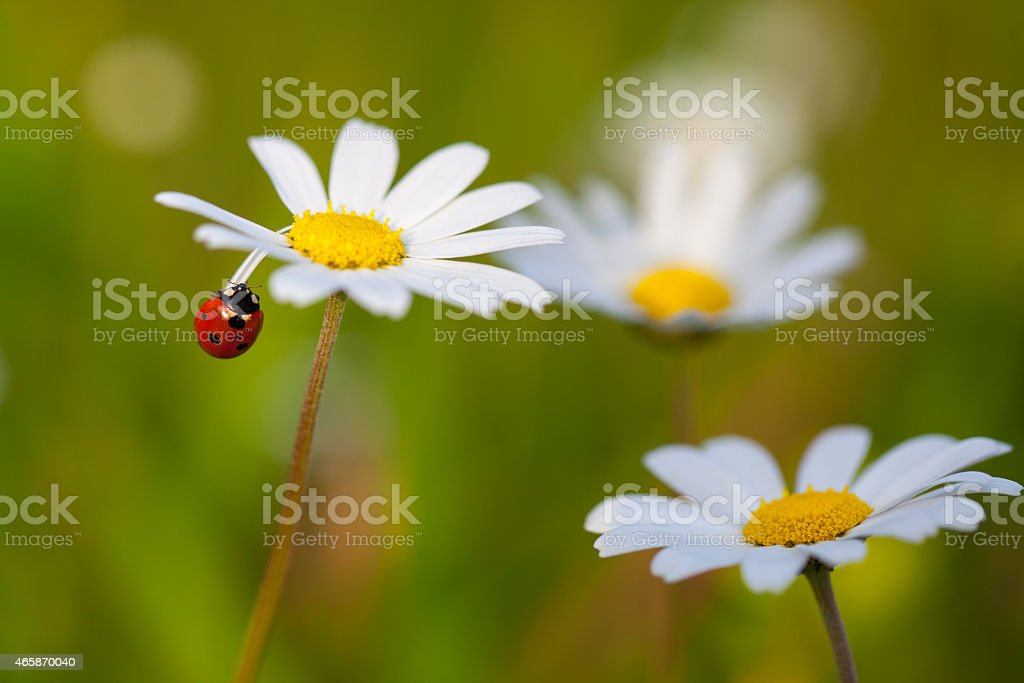 Ladybird on a chamomile stock photo