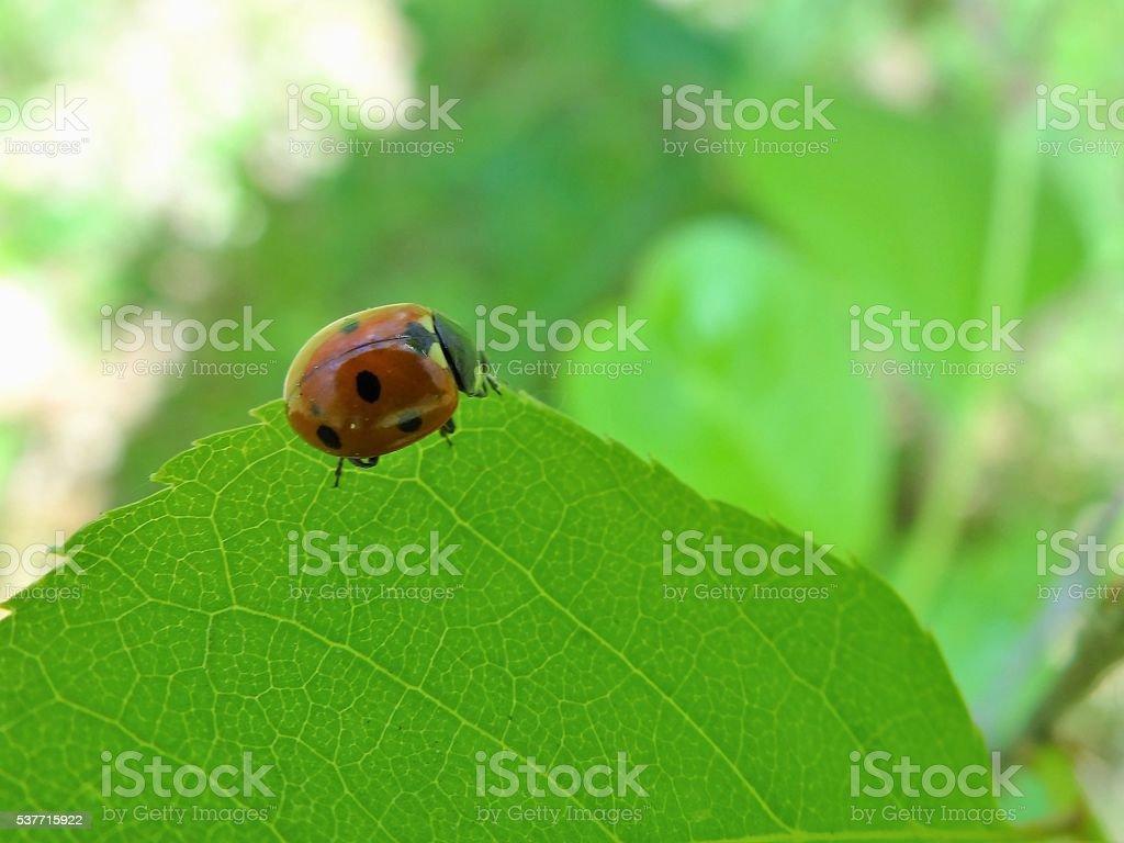 Coccinelle sur une feuille de l'arbre. photo libre de droits