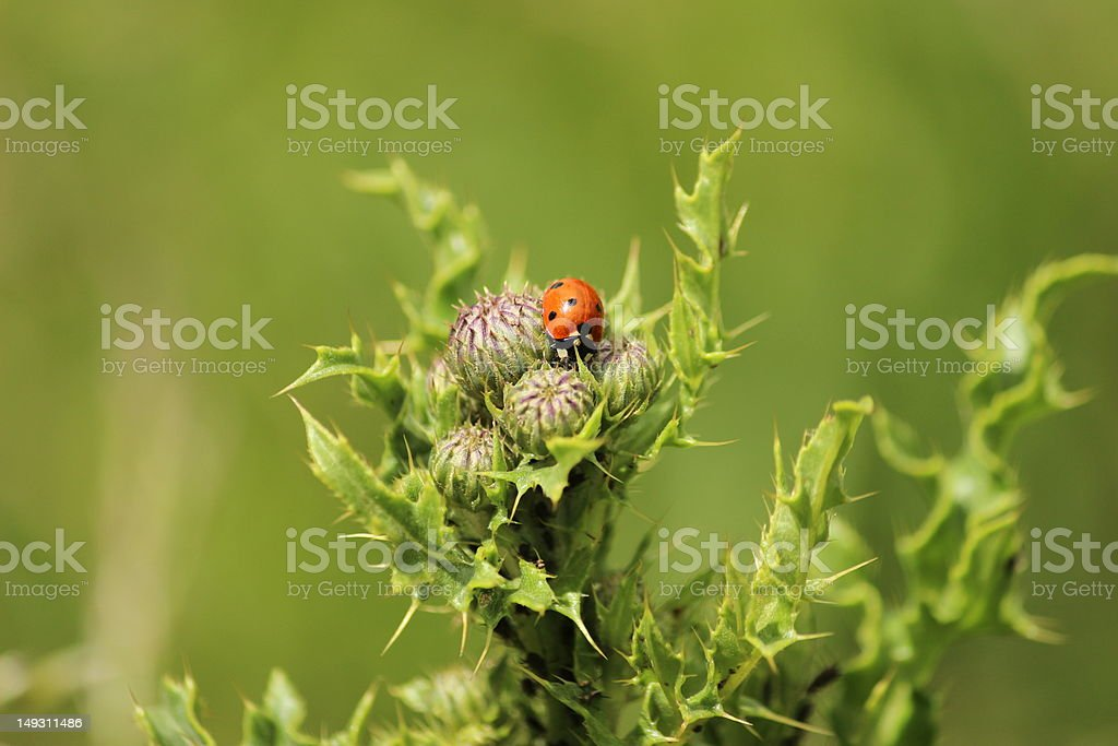 Ladybird on a thistle royalty-free stock photo