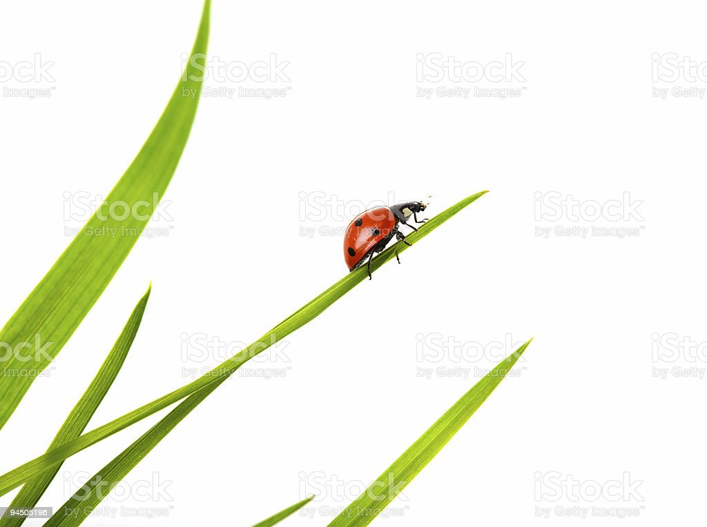 Ladybird on a white background stock photo