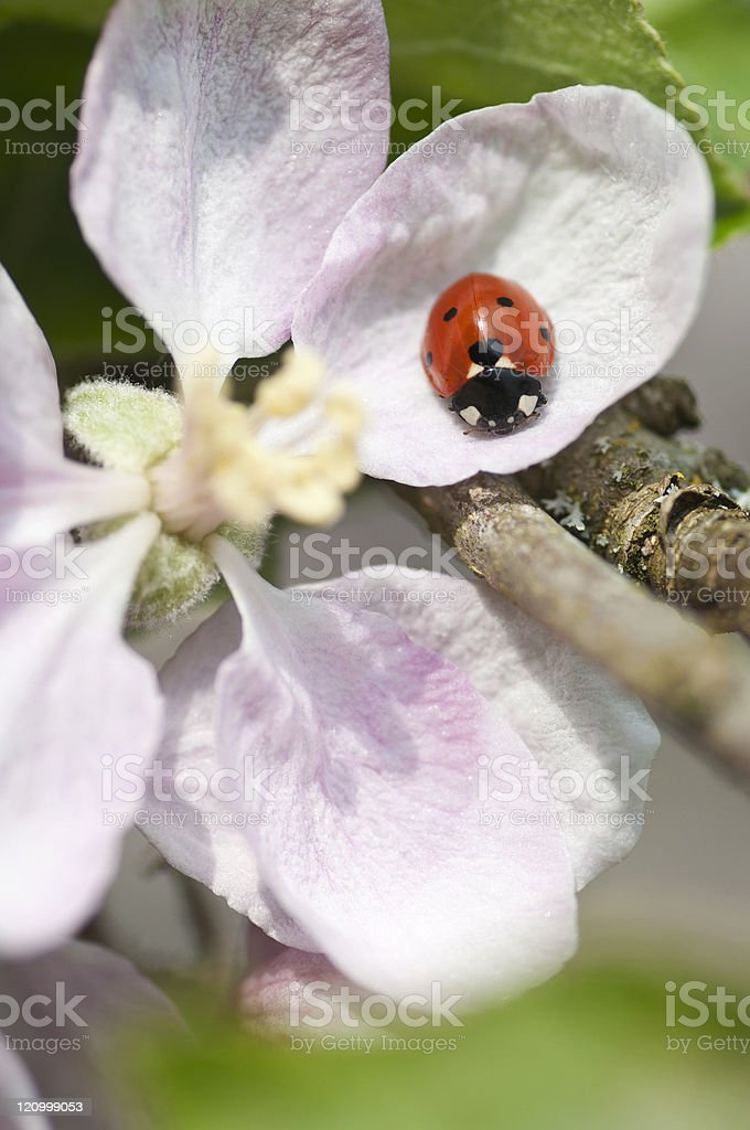Ladybird on blossom royalty-free stock photo