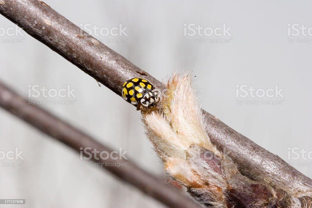 Ladybird on bud of ash royalty-free stock photo