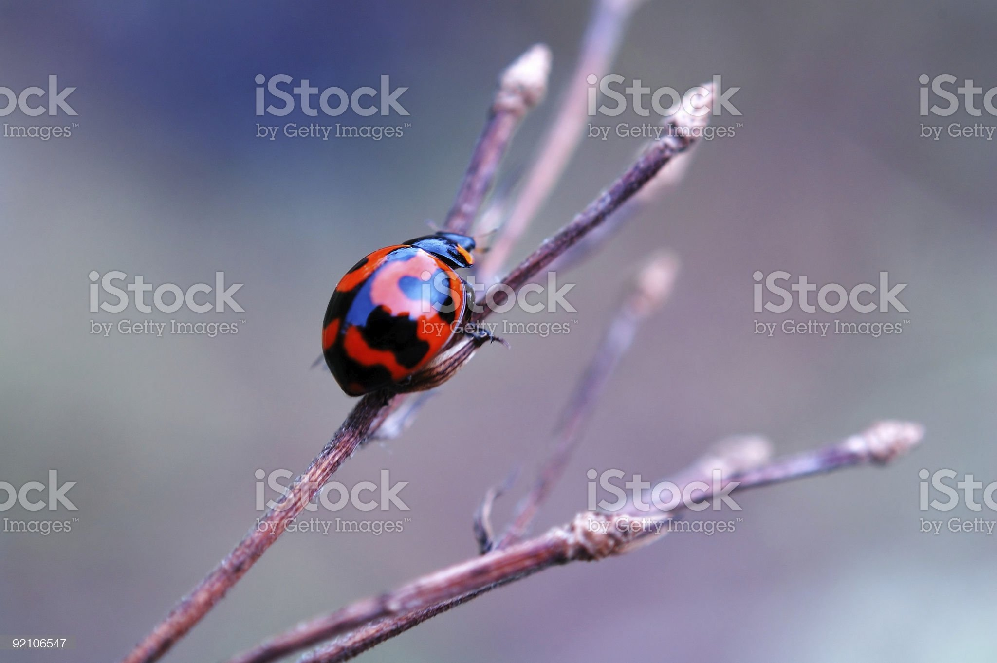Ladybird on dry branch royalty-free stock photo