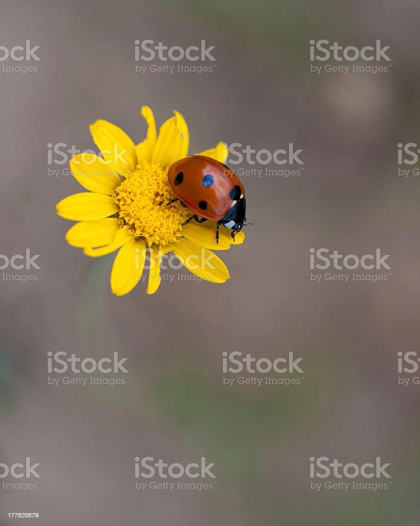 Ladybird on flower royalty-free stock photo
