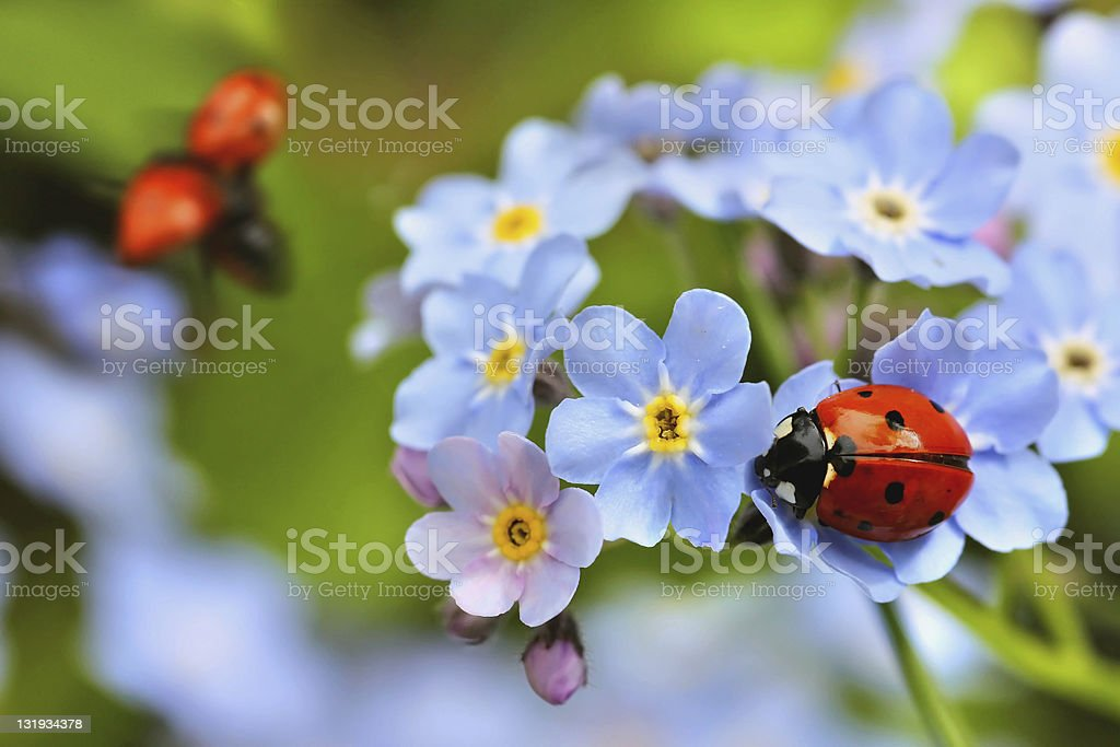 ladybird on forget-me-not flowers stock photo