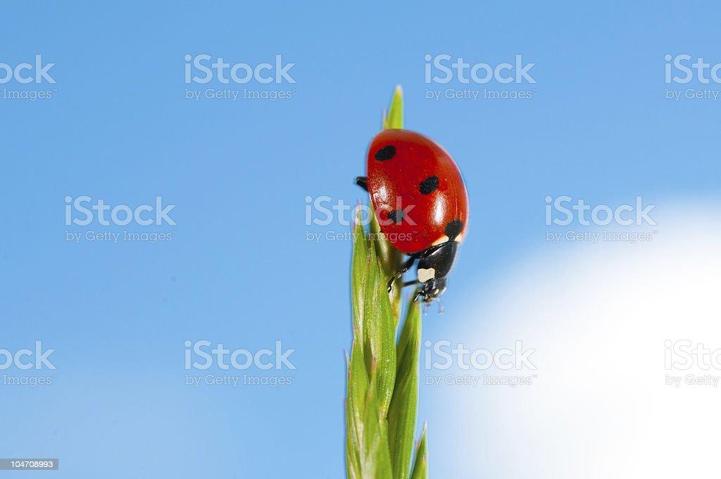 Ladybird on grass royalty-free stock photo