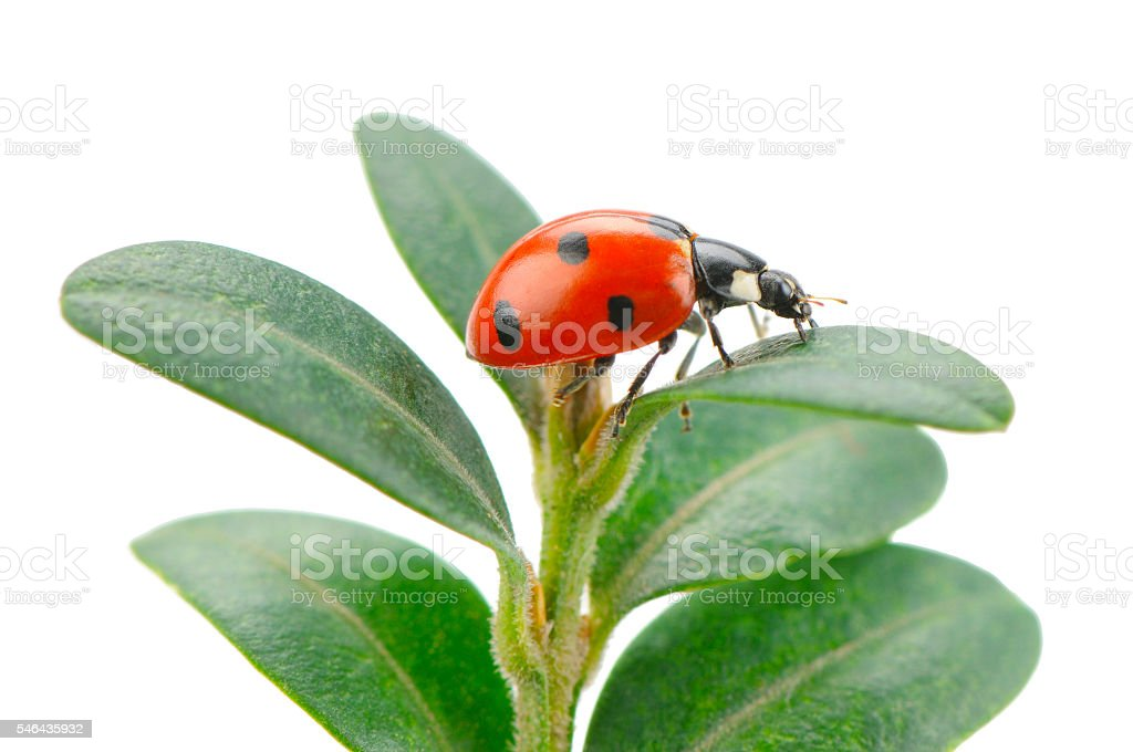 ladybird on green leaf isolated stock photo