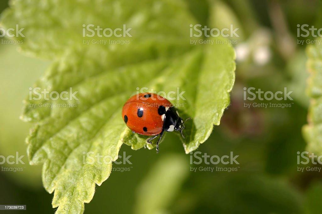 Ladybird on green leaf royalty-free stock photo