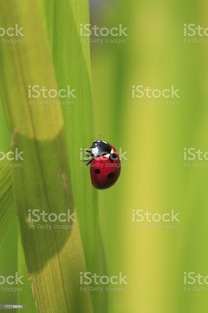 Ladybird on green royalty-free stock photo