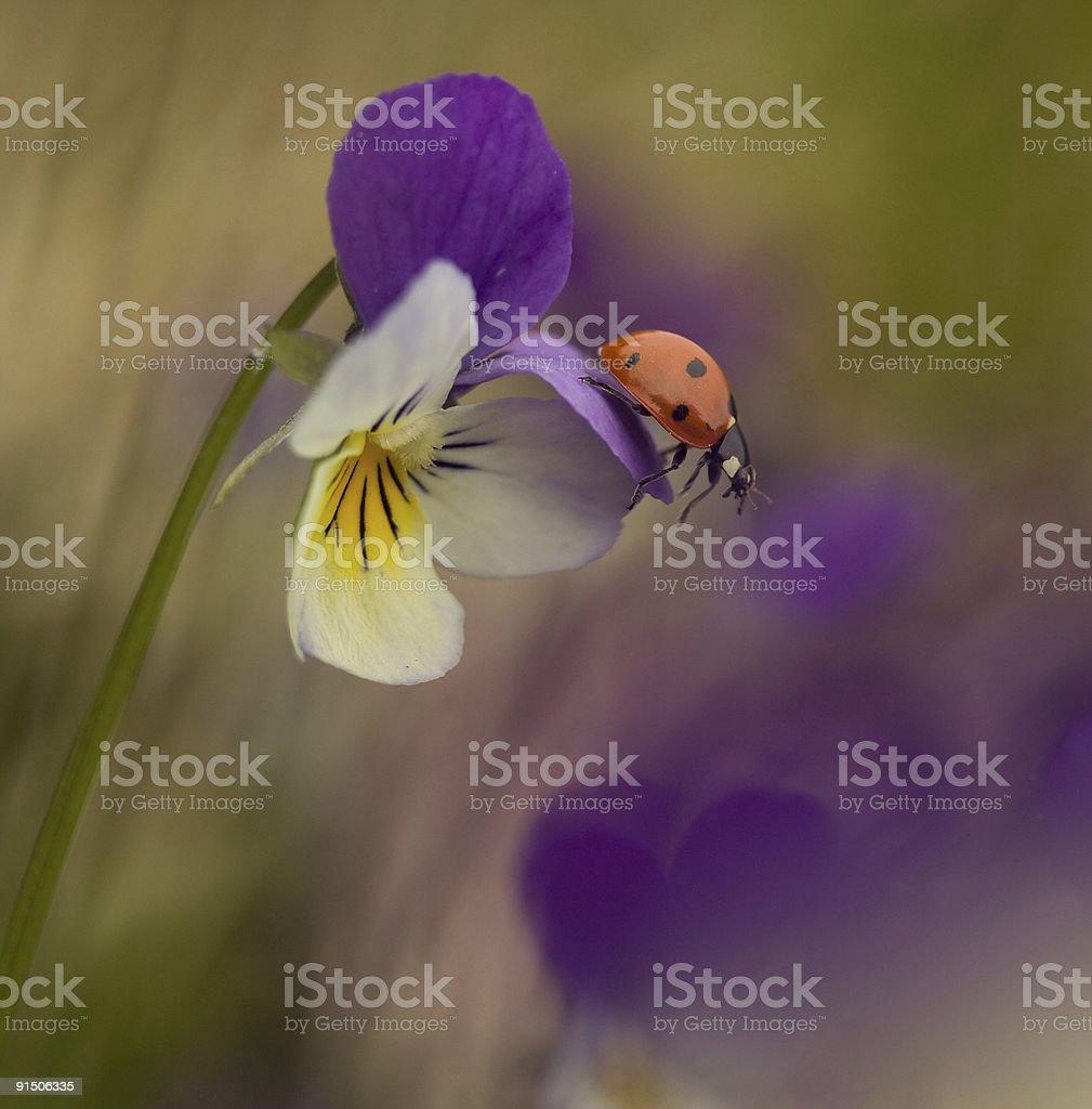 Ladybird on heartsease royalty-free stock photo