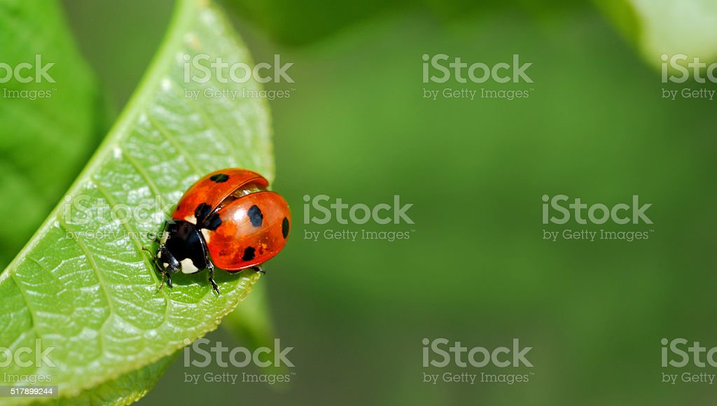 Ladybird on leaf stock photo
