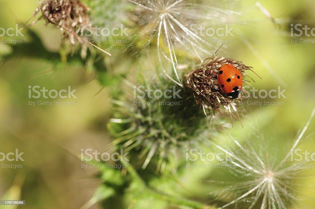 Ladybird on Milk thistle, U.K. royalty-free stock photo