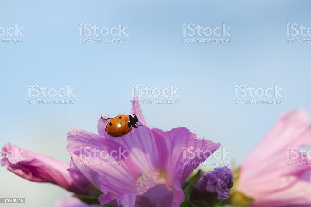 Ladybird on pink flower. royalty-free stock photo