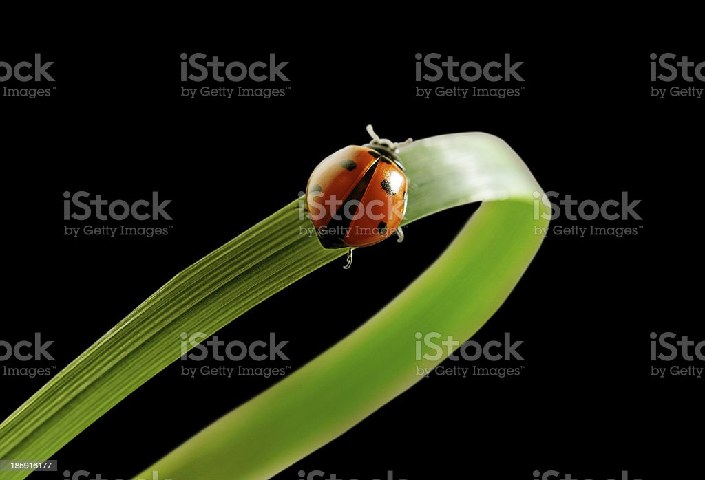 Ladybird on the grass. royalty-free stock photo