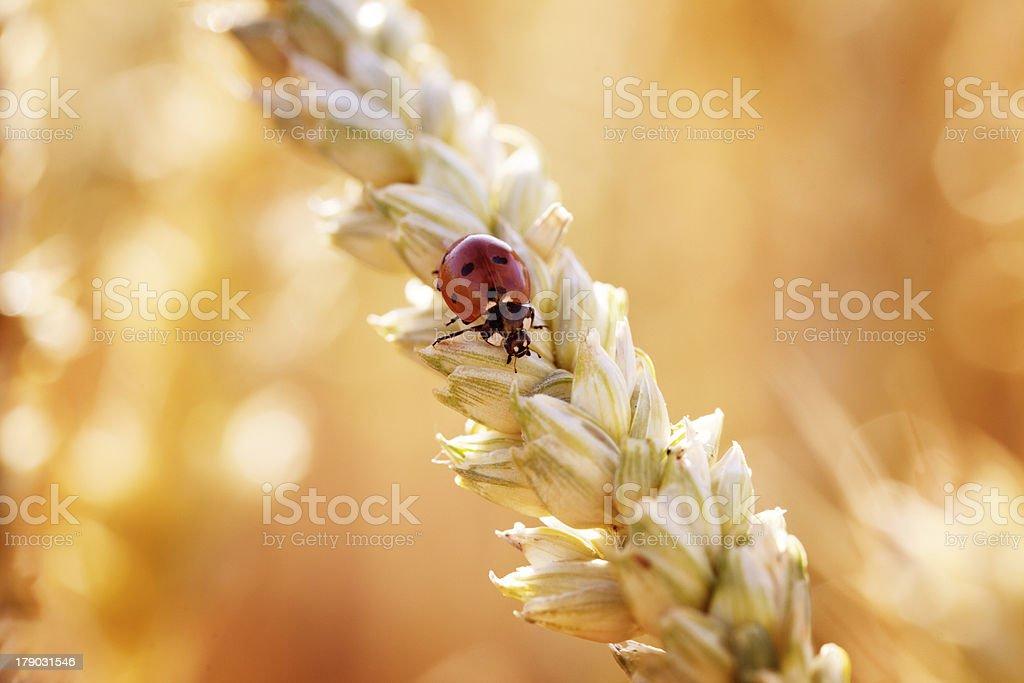 Ladybird on Wheat Spike royalty-free stock photo