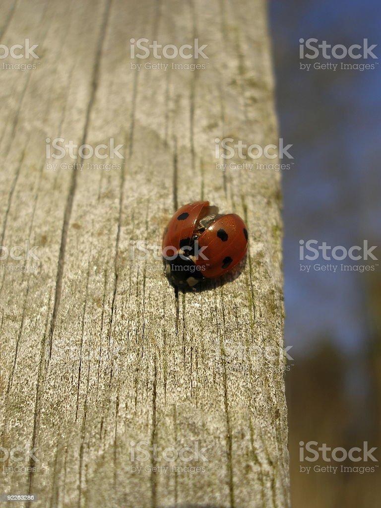 Ladybird on Wooden Post stock photo