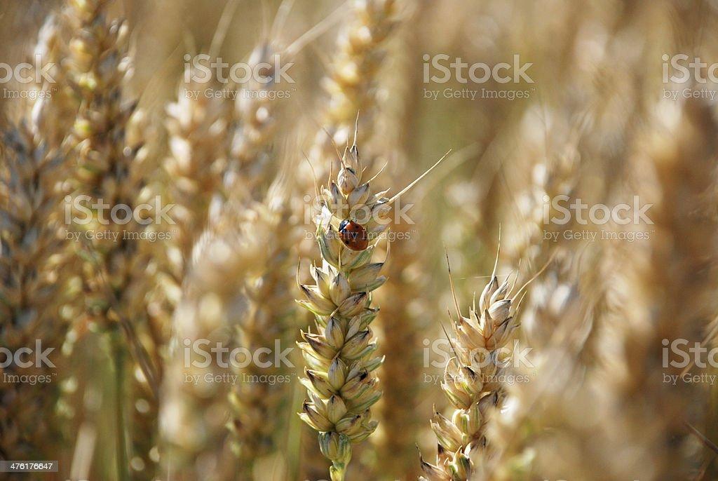 Ladybird or ladybug on a stalk of wheat royalty-free stock photo