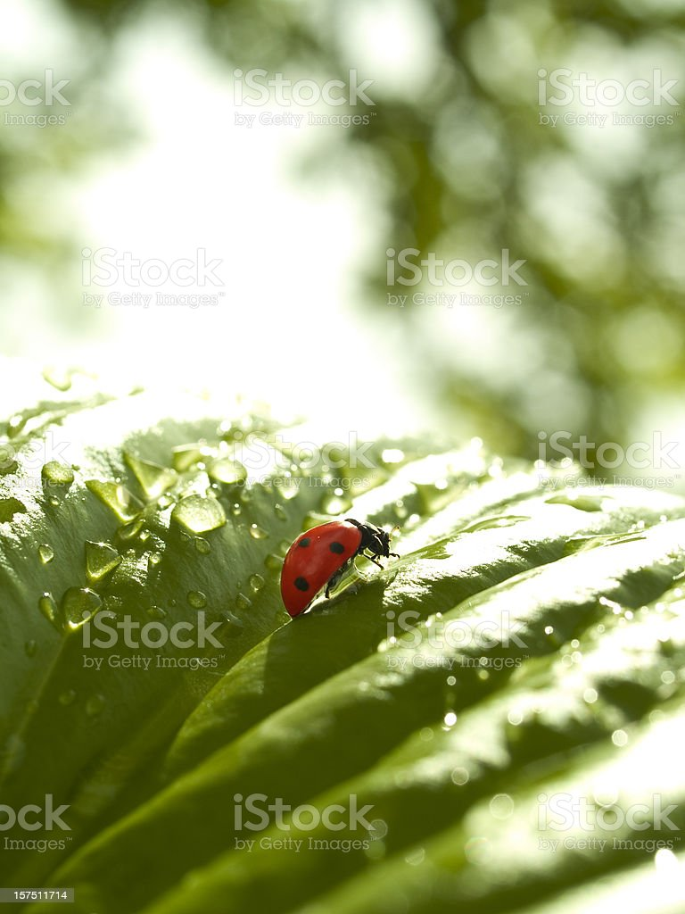 Ladybird royalty-free stock photo