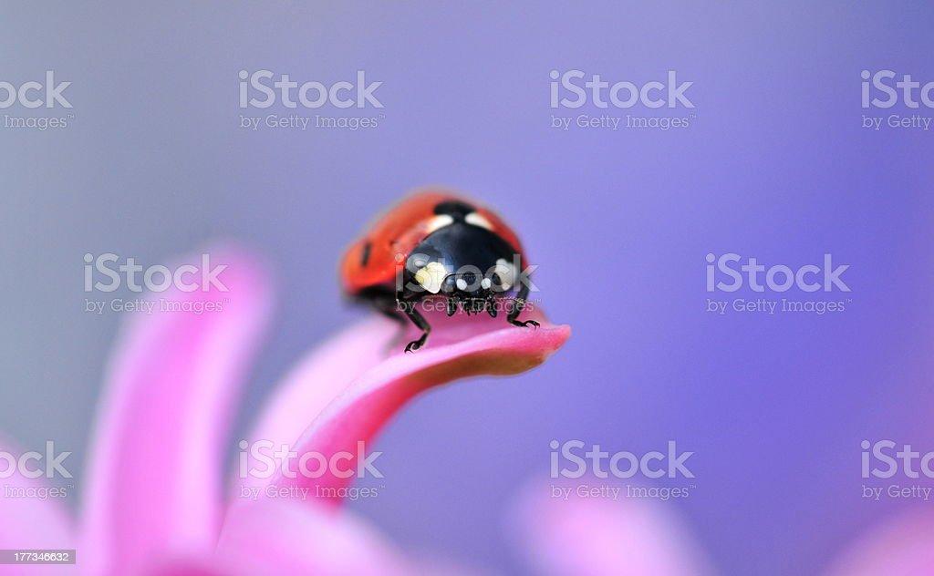 ladybird royalty-free stock photo