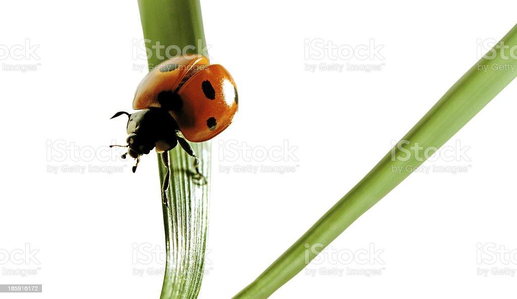 Ladybird. royalty-free stock photo