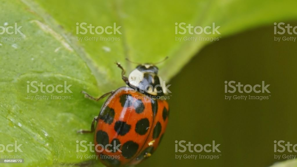 Ladybird stock photo