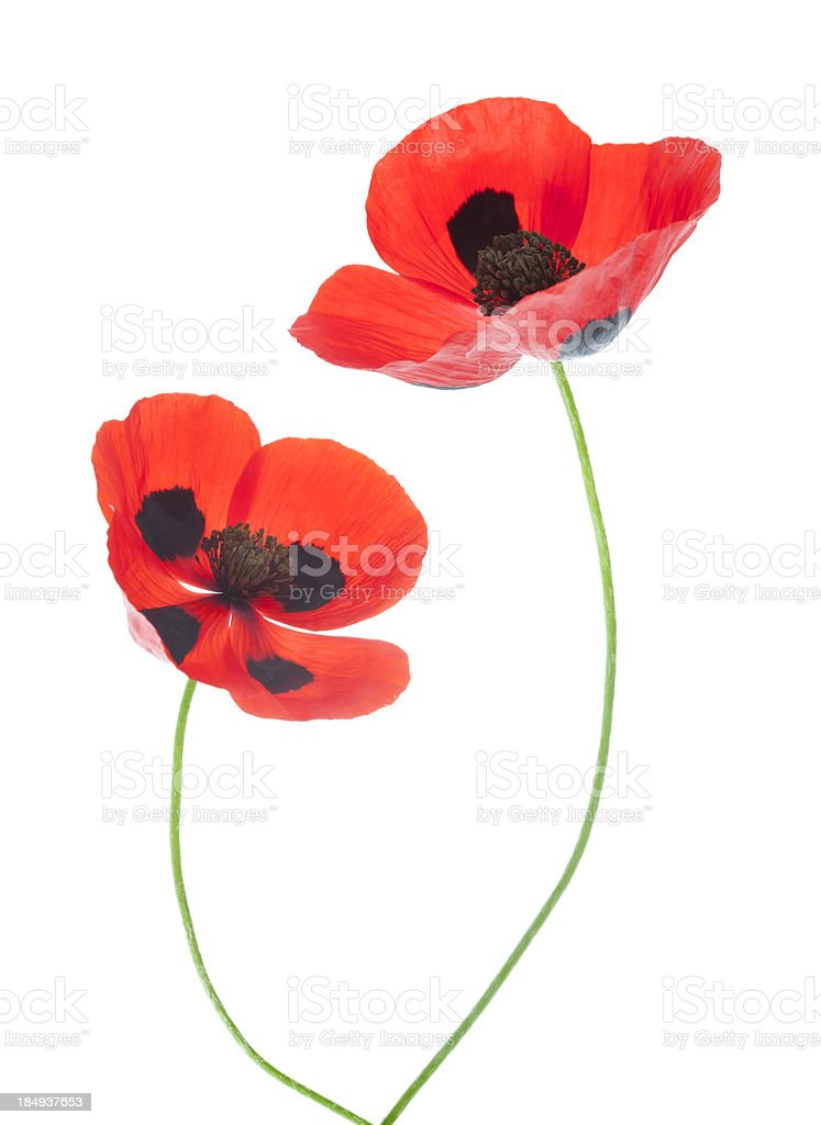 Ladybird Poppies royalty-free stock photo