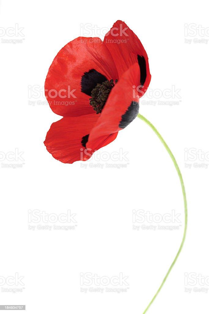 Ladybird Poppy (Papaver comutatum) royalty-free stock photo